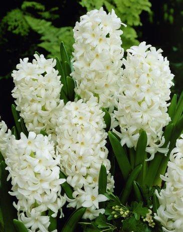 Blumenzwiebeln, Hyazinthe, Carnegie