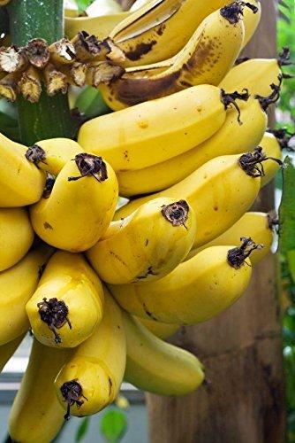 Palmenmann Bananenstaude (Dessertbanane, Zuchtbanane) - Musa paradisiaca