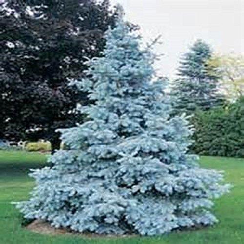 semillas-del-arbol-del-jardin-de-la-planta-de-hoja-perenne-colorado-blue-spruce-picea-glauca-pungens