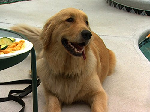 Jack Russell Terriers -