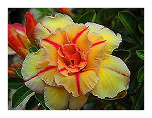 Adenium obesum Tongake - Rose du désert - Faux baobab - 3 graines