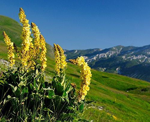 Seidenhaar-Königskerze, Verbascum bombyciferum 'Arctic Summer' 50 Samen