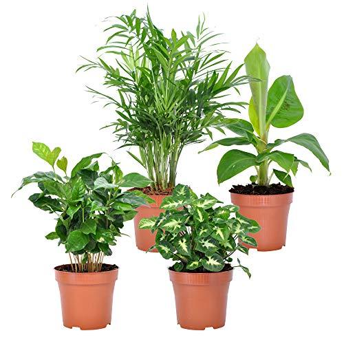 "Grünpflanzen Mix \""Fresh\"" in vier Sorten: Bergpalme, Bananenpflanze, Kaffeepflanze, Purpurtute, Höhe ca. 25 - 30 cm, Topf-Ø ca. 12 cm Areca, Musa, Coffea, Syngonium"