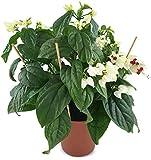 Clerodendrum thomsoniae XL - kletternder Losstrauch sehr schöne Zimmerpflanze für das Ostfenster- der Schicksalsstrauch ist 30-40 cm hoch