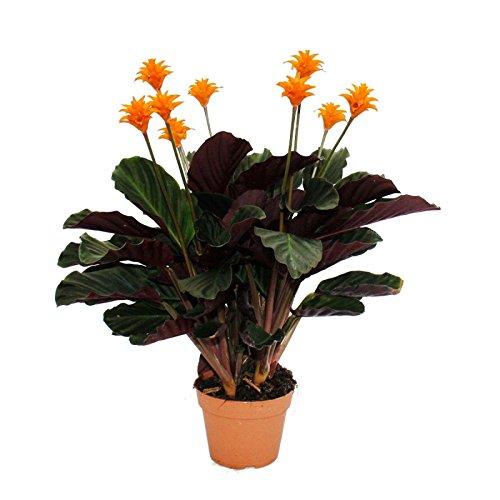 schattenpflanze-mit-leutenden-bluten-calathea-crocata-14cm-topf