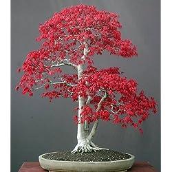 Acer palmatum - Arce japonés - 20 semillas