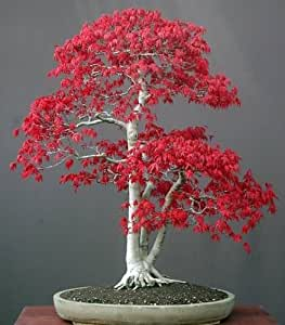 acer palmatum atropurpureum roter f cherahorn bonsai. Black Bedroom Furniture Sets. Home Design Ideas