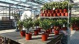 Olivenbaum uriges Bonsai Stämmchen Olive 40-50 cm Olea Europaea Stamm Olive