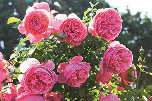 Romantica Rose Leonardo da Vinci im 5 Liter Rosentopf