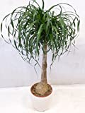 [Palmenlager] - Elefantenfuß 110 cm'Beaucarnea' Nolina recurvata // Zimmerpflanze