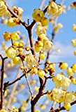 Palmenmann Chinesische Winterblüte (groß) - Chimonanthus praecox