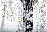 Posterlounge Leinwandbild 90 x 60 cm: Birch Tree 1 von Mareike Böhmer Photography - fertiges Wandbild, Bild auf Keilrahmen, Fertigbild auf echter Leinwand, Leinwanddruck