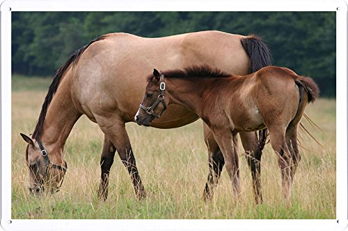 plaque-affiche-de-metal-affiche-de-horse-stallion-cub-walk-food-grass-52603-2030cm
