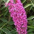 Schmetterlingsflieder rosa von Meingartenshop bei Du und dein Garten