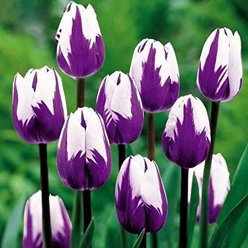 Shoopy Star 50+ Helianthemum Rock Rose Mix/Couvre-sol àfeuilles persistantes/Graines de fleurs vivaces