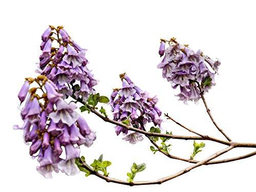 Chinesischer Blauglockenbaum *Paulownia tomentosa* 100 frische Samen -Winterhart-