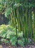 Tropica - Gräser und Bambus - Großer Dornenbambus (Dendrocalamus arundinacea) - 50 Samen