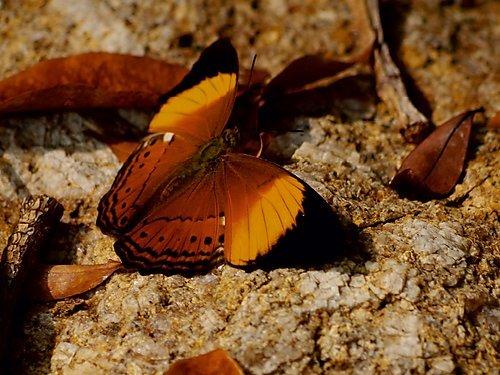 Ein Motiv aus dem Kalender Zarte Schönheiten - Schmetterlinge Malaysias 1000 Teile Puzzle quer: Cirrochroa orissa (CALVENDO Tiere)