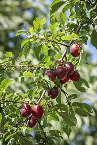 Kirschpflaume Prunus cerasifera Pflanze 25-30cm Myrobalane Pflaumenbaum Pflaume