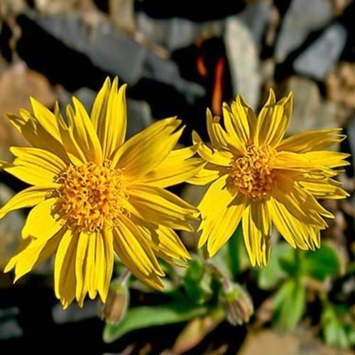 PLAT FIRM Germination Les graines: A) 200 graines: Outsidepride Arnica Montana Herb Seeds