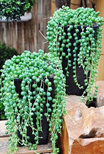 Qulista Samenhaus - Selten Südafrika String of Pearls Succulents Mischung Senecio rowleyanus String of Beads mehrjährig winterhart für Balkon, Terrasse & Garten
