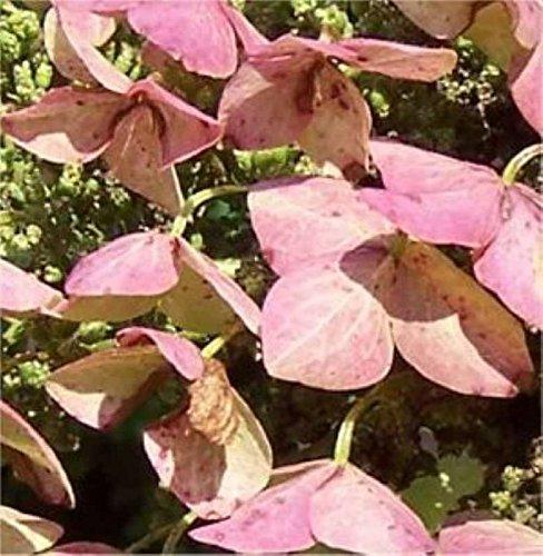 Eichenblättrige Hortensie Alice 30-40cm – Hydrangea quercifolia