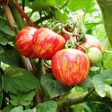 Bheema 20PCS Lycopersicon esculentum Mill Samen Tomate