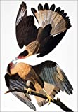 Posterlounge Acrylglasbild 120 x 170 cm: Audubon: Caracara, 1827-38. von John James Audubon/Granger Collection - Wandbild, Acryl Glasbild, Druck auf Acryl Glas Bild