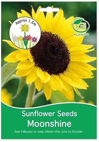 G Plants großen, leicht Packungen Samen Sonnenblumen,