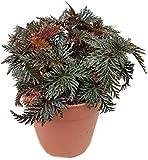 Fangblatt - Begonia bipinnatifida - die Farnblattbegonie mit gefiederten Blättern, als exotisches Zimmerpflanze ein 'Eyecatcher' auf jedem Fensterbrett - eine außergewöhnliche Zimmerpflanze für Ihr zu Hause
