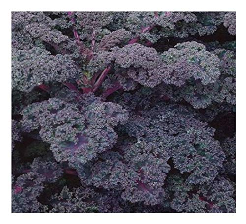 Un atractivo y productivo variedad producir una abundante cosecha de deliciosos, profundamente hojas rizadas que a su vez violet-blue después de la primera escarcha. Un Mediados a finales de temporada variedad. altamente resistente a las heladas, 80...