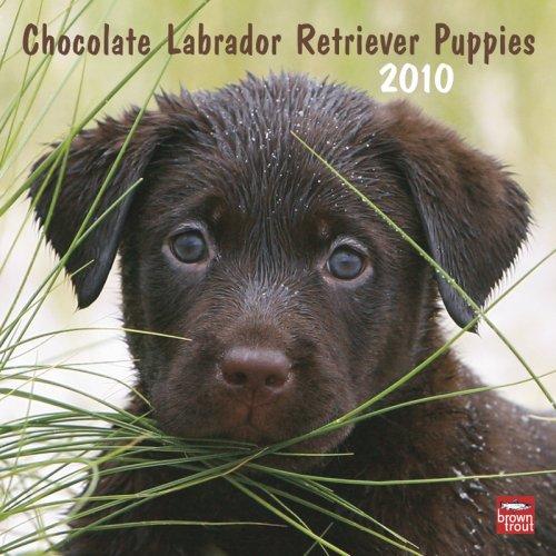 Chocolate Labrador Retriever Puppies 2010 -