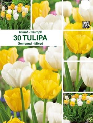 """Prächtige Tulpen - Mischung """" Gelb - Weiß """" 30 Zwiebeln von Mosselman - Du und dein Garten"""