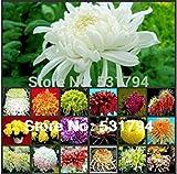 Bessere Qualität 100PIECE Hybrid Mini mehrjährigen Blumen Miniascape orange Tagetes Chrysantheme Samen + FREE SHIPPING