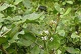 Portal Cool 10 X Watercress Pond Plants Rorippa Nasturtium-Aquaticum Oxygenating Rafting