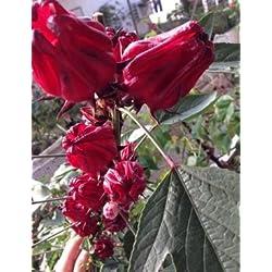 Hibiskus Sabdariffa Teehibiskus Roselle 10 Samen