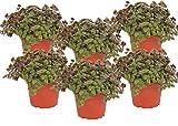 Calllisa ('Schönpolster') Futterpflanze für Nager, Vögel, Schildkröten und Reptilien (6)