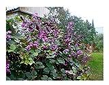 10x Lablab purpureus Helmbohne Bohne Samen Kletterpflanze Garten ID41