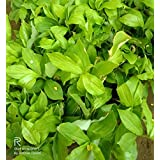 Insulin Live Plant |Natural Insulin | Great Meditional Plant |diabetes plants | Costus igneus plant with Polythene bag
