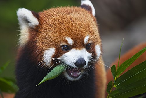 Dave Fleetham / Design Pics – Red Panda (Ailurus fulgens) or shining cat is a small arboreal mammal and the only species of the genus Ailurus; Guangdong China Photo Print (96,52 x 60,96 cm)