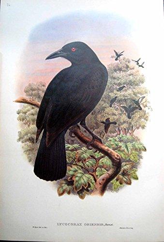 Gould Vogel-prints (Drucken Sie Obi-Paradies-Krähen-Insel-Molukke-Vogel Johns Gould Lycocorax Obiensis)