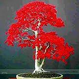 100% Echte japanische Red Maple Bonsai-Baum Günstige Samen, Profi-Pack 20 Samen / Pack, sehr schöne Indoor-Baum NF924