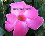 Produkt-Bild: PLAT FIRM Keim Seeds: Mandevilla Vine - PINK - 1 Plant - 4