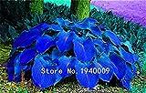 100pcs / bag Hosta Pflanzen, Hosta 'Whirl Wind', Hosta Blume, Blumensamen, Bonsais Grassamen, DIY Zierpflanzen für Hausgarten