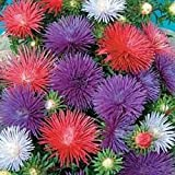 PLAT FIRM Germinazione dei Semi: A 1000 Semi: Semi Outsidepride Aster Seastar Flower Mix