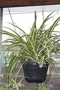 zimmerpflanze f r wohnraum oder b ro chlorophytum h ngende gr nlilie gro e buschige. Black Bedroom Furniture Sets. Home Design Ideas