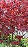 Fächerahorn - Acer palmatum - Atropurpureum - rotlaubig, beliebt - 40-60 cm
