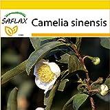 SAFLAX - Set per la coltivazione - Pianta del tè - 6 semi - Camelia sinensis