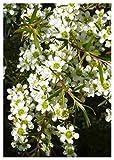TROPICA - Südsee-Myrte (Leptospermum scoparium) - 200 Samen