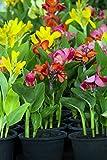 Palmenmann Indisches Blumenrohr (Mix) - Canna indica